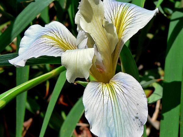Fernald's Iris (Iris Fernaldii) http://www.sagebud.com/fernalds-iris-iris-fernaldii