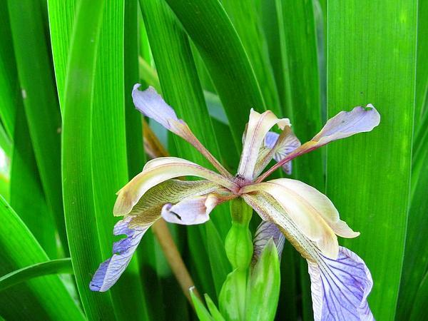 Stinking Iris (Iris Foetidissima) http://www.sagebud.com/stinking-iris-iris-foetidissima