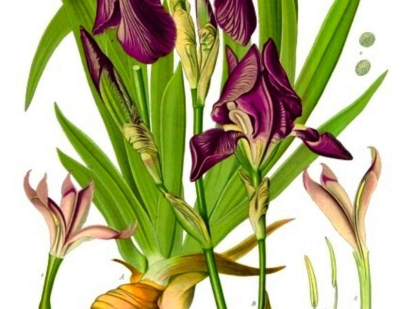 German Iris (Iris Germanica) http://www.sagebud.com/german-iris-iris-germanica