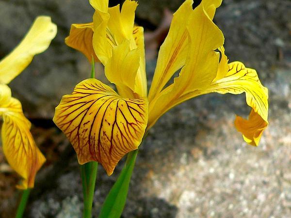 Del Norte County Iris (Iris Innominata) http://www.sagebud.com/del-norte-county-iris-iris-innominata