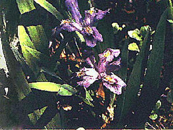 Dwarf Lake Iris (Iris Lacustris) http://www.sagebud.com/dwarf-lake-iris-iris-lacustris