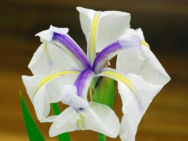 Rabbitear Iris (Iris Laevigata) http://www.sagebud.com/rabbitear-iris-iris-laevigata