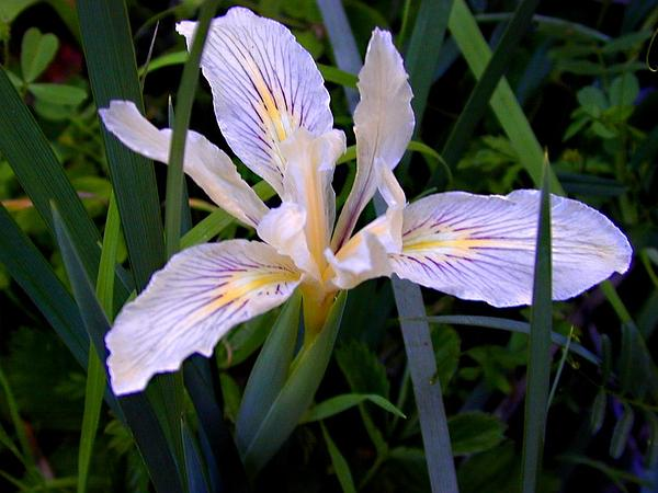 Bowltube Iris (Iris Macrosiphon) http://www.sagebud.com/bowltube-iris-iris-macrosiphon