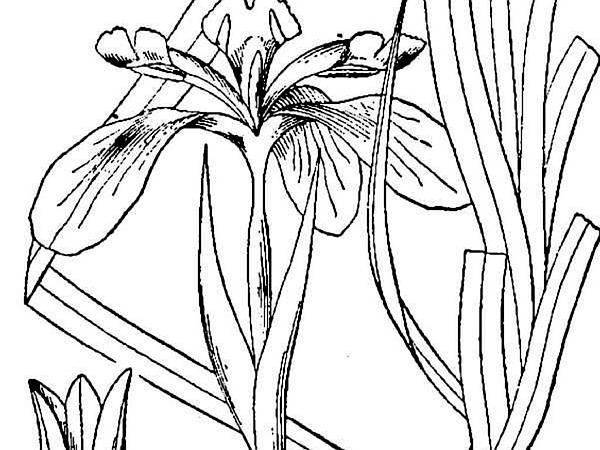 Rocky Mountain Iris (Iris Missouriensis) http://www.sagebud.com/rocky-mountain-iris-iris-missouriensis