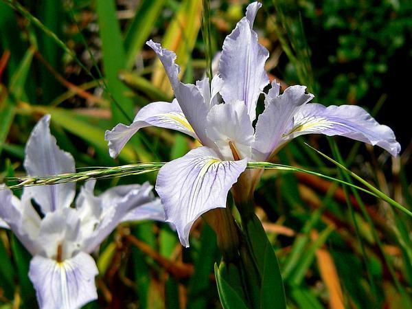 Munz's Iris (Iris Munzii) http://www.sagebud.com/munzs-iris-iris-munzii