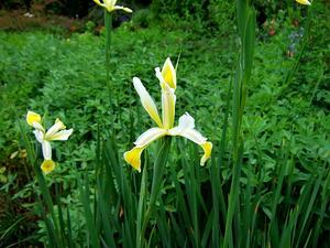 Yellowband Iris
