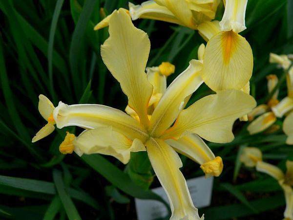 Yellowband Iris (Iris Orientalis) http://www.sagebud.com/yellowband-iris-iris-orientalis