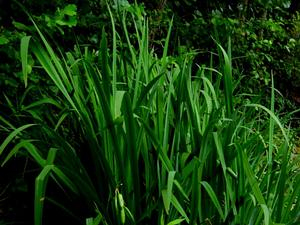Paleyellow Iris