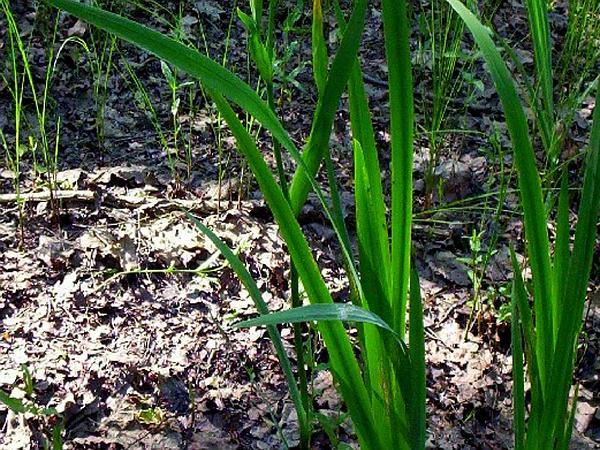 Paleyellow Iris (Iris Pseudacorus) http://www.sagebud.com/paleyellow-iris-iris-pseudacorus