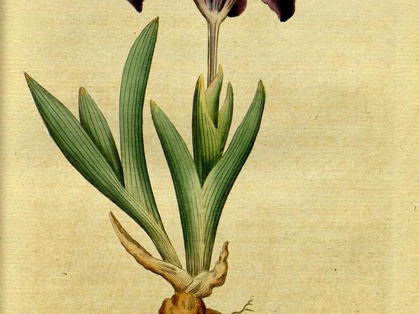 Dwarf Iris (Iris Pumila) http://www.sagebud.com/dwarf-iris-iris-pumila