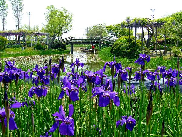 Blood Iris (Iris Sanguinea) http://www.sagebud.com/blood-iris-iris-sanguinea