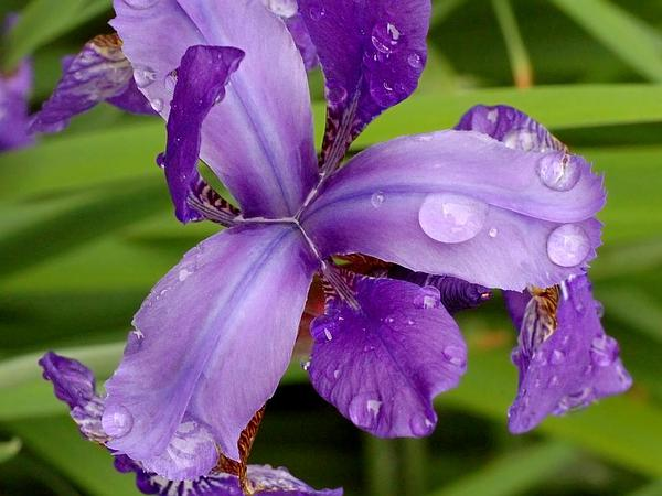 Siberian Iris (Iris Sibirica) http://www.sagebud.com/siberian-iris-iris-sibirica/