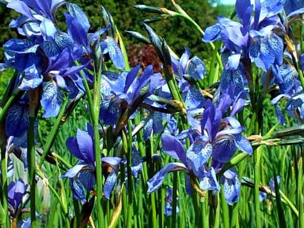 Siberian Iris (Iris Sibirica) http://www.sagebud.com/siberian-iris-iris-sibirica