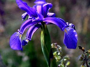 Seashore Iris