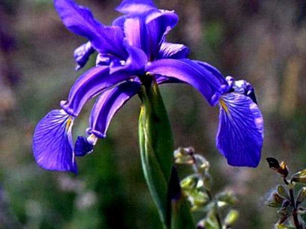 Seashore Iris (Iris Spuria) http://www.sagebud.com/seashore-iris-iris-spuria