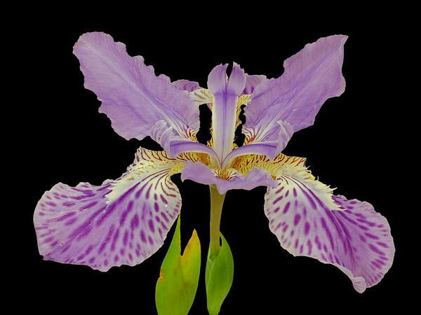 Wall Iris (Iris Tectorum) http://www.sagebud.com/wall-iris-iris-tectorum