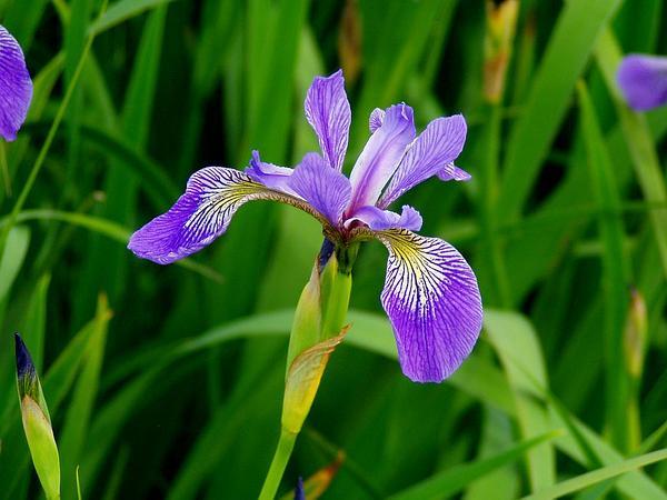Harlequin Blueflag (Iris Versicolor) http://www.sagebud.com/harlequin-blueflag-iris-versicolor