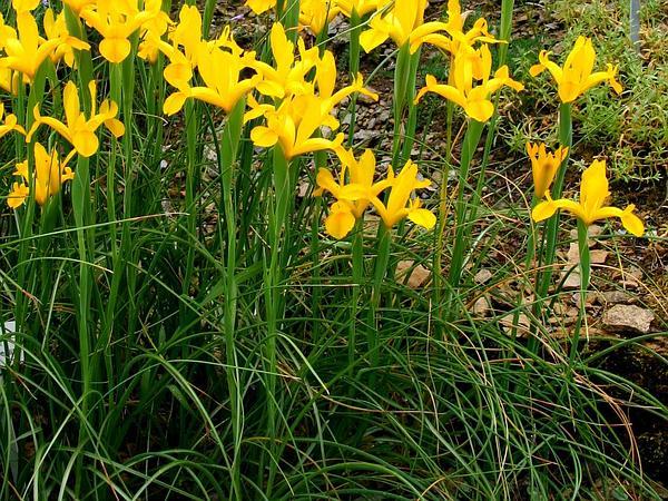 Spanish Iris (Iris Xiphium) http://www.sagebud.com/spanish-iris-iris-xiphium