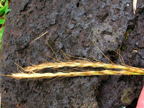 Murainagrass (Ischaemum) http://www.sagebud.com/murainagrass-ischaemum