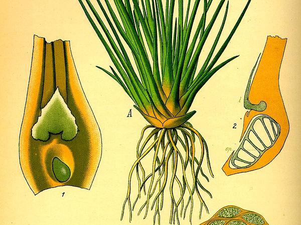 Lake Quillwort (Isoetes Lacustris) http://www.sagebud.com/lake-quillwort-isoetes-lacustris
