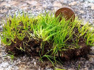 Merlin's Grass