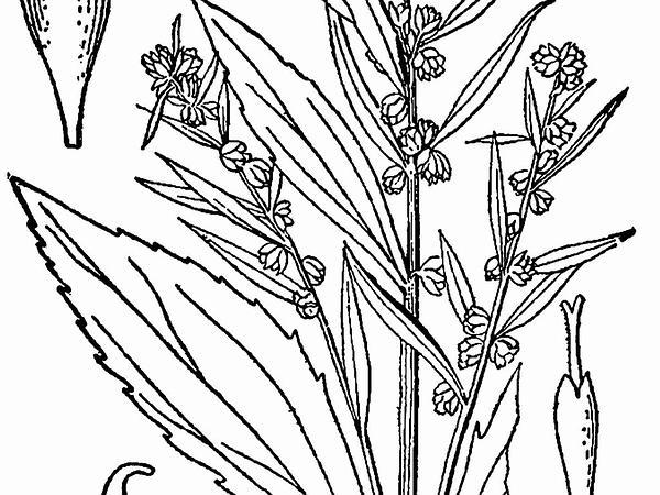 Jesuit's Bark (Iva Frutescens) http://www.sagebud.com/jesuits-bark-iva-frutescens/
