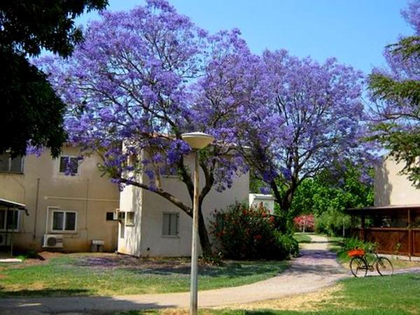 Jacaranda (Jacaranda) http://www.sagebud.com/jacaranda-jacaranda