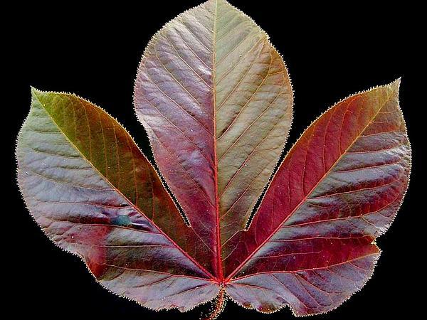 Bellyache Bush (Jatropha Gossypiifolia) http://www.sagebud.com/bellyache-bush-jatropha-gossypiifolia/