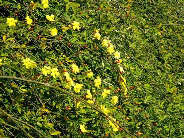Japanese Jasmine (Jasminum Mesnyi) http://www.sagebud.com/japanese-jasmine-jasminum-mesnyi