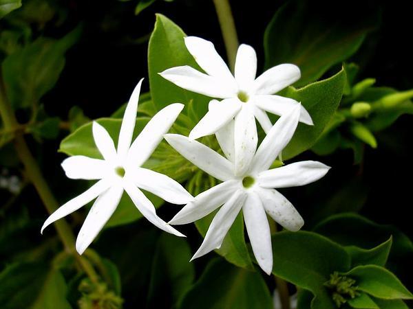 Star Jasmine (Jasminum Multiflorum) http://www.sagebud.com/star-jasmine-jasminum-multiflorum/