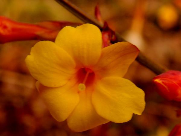 Winter Jasmine (Jasminum Nudiflorum) http://www.sagebud.com/winter-jasmine-jasminum-nudiflorum/