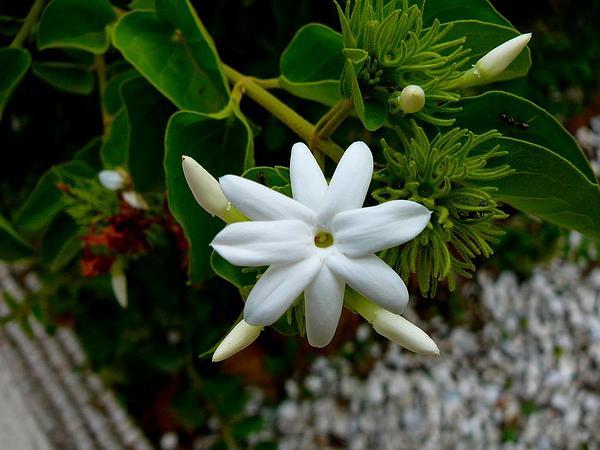 Arabian Jasmine (Jasminum Sambac) http://www.sagebud.com/arabian-jasmine-jasminum-sambac