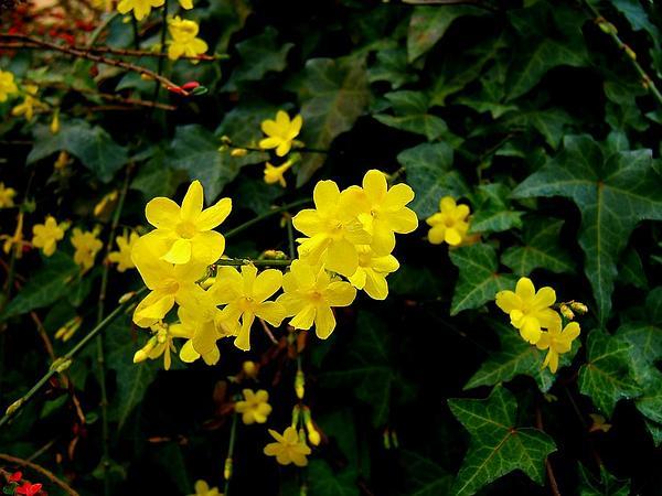 Jasmine (Jasminum) http://www.sagebud.com/jasmine-jasminum/