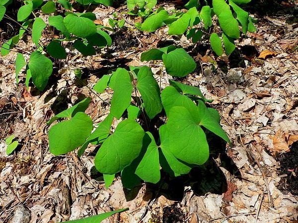 Twinleaf (Jeffersonia Diphylla) http://www.sagebud.com/twinleaf-jeffersonia-diphylla