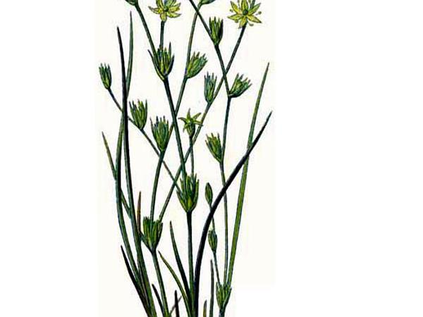 Rush (Juncus)
