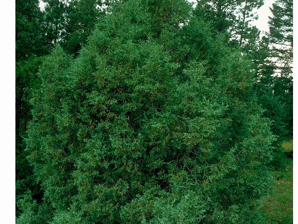 Rocky Mountain Juniper (Juniperus Scopulorum)
