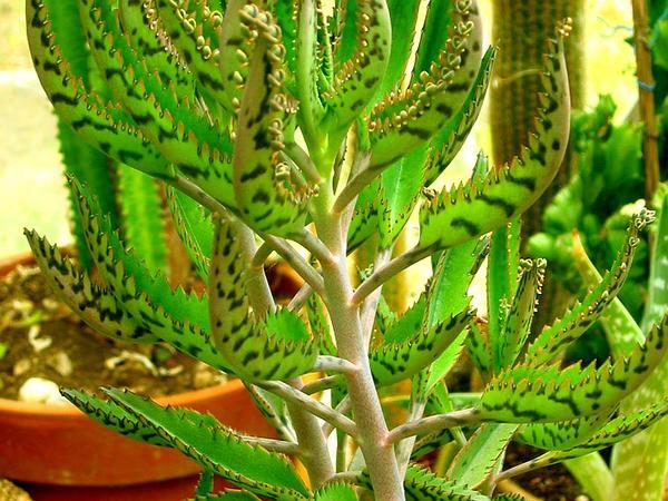 Sagebud grow your garden plant a tree pot a flower for Kalanchoe cura