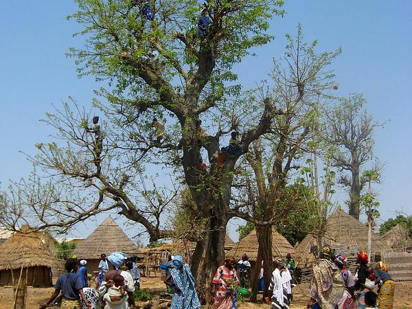 Senegal Mahogany (Khaya Senegalensis) http://www.sagebud.com/senegal-mahogany-khaya-senegalensis