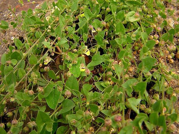Sharpleaf Cancerwort (Kickxia Elatine) http://www.sagebud.com/sharpleaf-cancerwort-kickxia-elatine