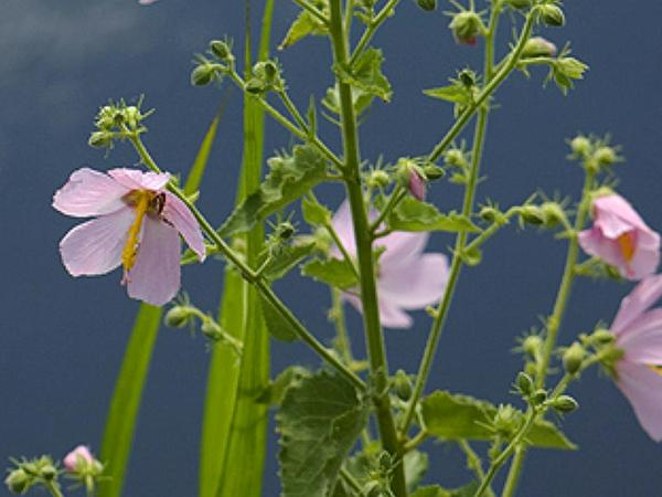 Virginia Saltmarsh Mallow (Kosteletzkya Virginica) http://www.sagebud.com/virginia-saltmarsh-mallow-kosteletzkya-virginica