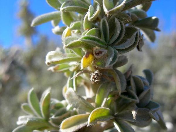 Yellow Bush Lupine (Lupinus Arboreus) http://www.sagebud.com/yellow-bush-lupine-lupinus-arboreus