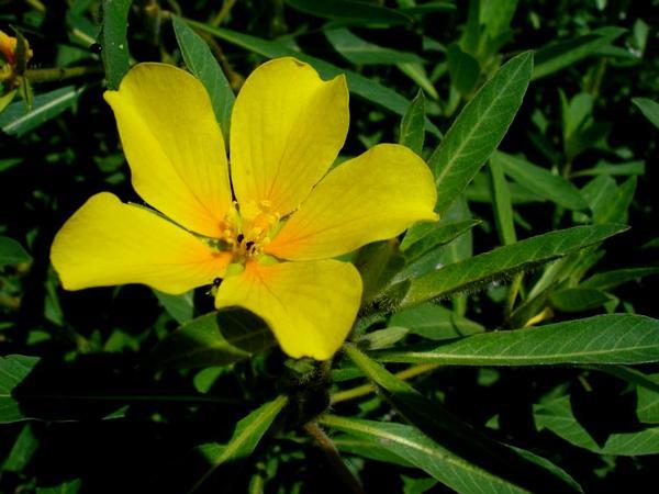 Primrose-Willow (Ludwigia) http://www.sagebud.com/primrose-willow-ludwigia