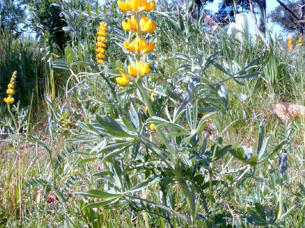 European Yellow Lupine (Lupinus Luteus) http://www.sagebud.com/european-yellow-lupine-lupinus-luteus