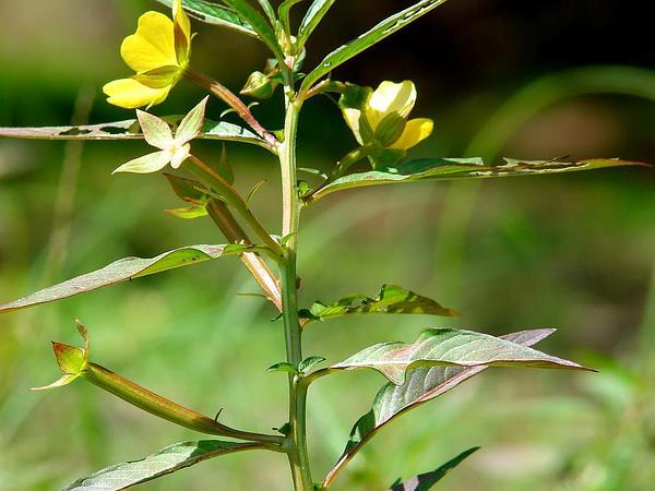 Mexican Primrose-Willow (Ludwigia Octovalvis) http://www.sagebud.com/mexican-primrose-willow-ludwigia-octovalvis