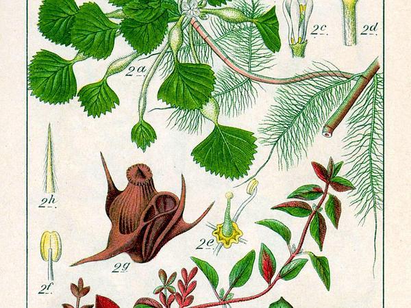 Marsh Seedbox (Ludwigia Palustris) http://www.sagebud.com/marsh-seedbox-ludwigia-palustris