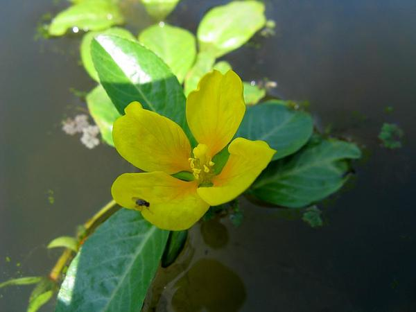 Floating Primrose-Willow (Ludwigia Peploides) http://www.sagebud.com/floating-primrose-willow-ludwigia-peploides/