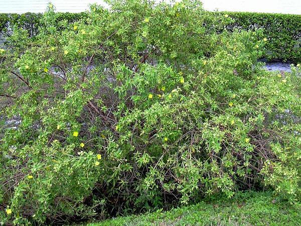 Peruvian Primrose-Willow (Ludwigia Peruviana) http://www.sagebud.com/peruvian-primrose-willow-ludwigia-peruviana