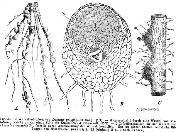 Bigleaf Lupine (Lupinus Polyphyllus) http://www.sagebud.com/bigleaf-lupine-lupinus-polyphyllus