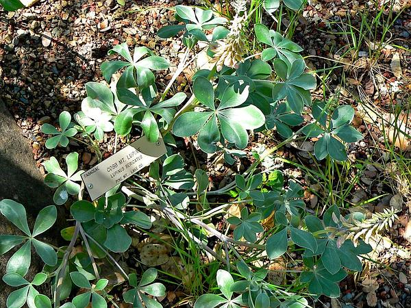 Cobb Mountain Lupine (Lupinus Sericatus) http://www.sagebud.com/cobb-mountain-lupine-lupinus-sericatus