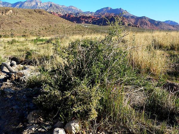 Water Jacket (Lycium Andersonii) http://www.sagebud.com/water-jacket-lycium-andersonii/